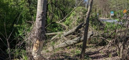 Drzewo zwaliło się na drogę w Lusinie – zaniedbania urzędnicze?